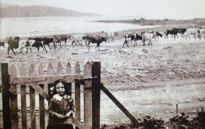 Betty Kensington (Bilton) at the family bach in Moana Road, about 1914 with Shannon's cows on the beach. Photo courtesy Alistair Robb Collection, Pataka Art + Museum, Porirua